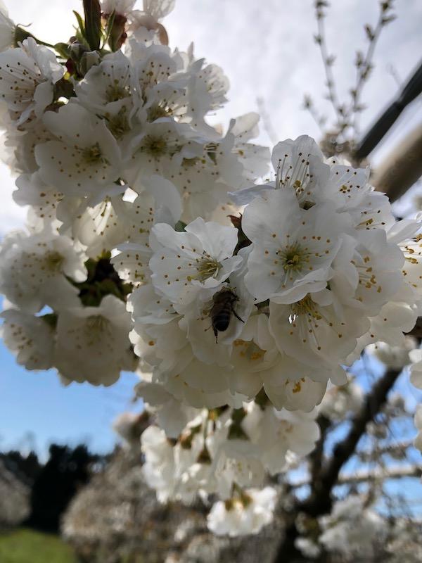 cerisiers-en-fleur