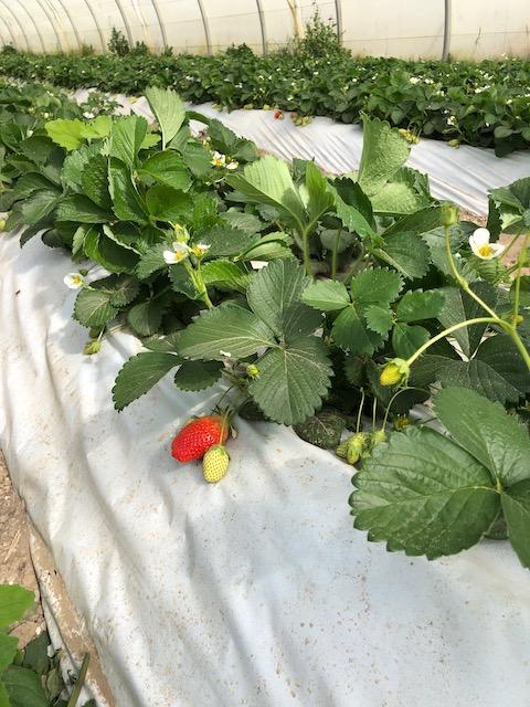 serre-fraises